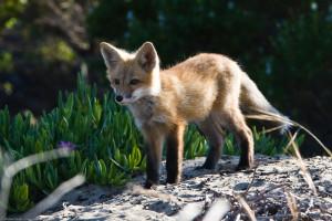 , Red Fox,fox,Vulpes vulpes,mammal,cloisters,pups, carnivore,Carnivora  http://en.wikipedia.org/wiki/Red_fox